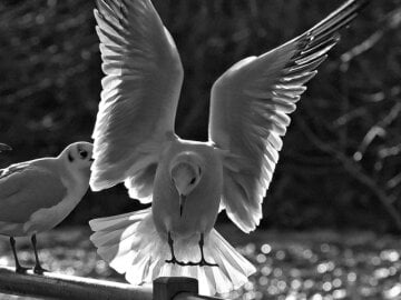 placeimg_640_480_grayscale_animals
